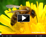 Honeybees-Neonicitinoids-video-thumb