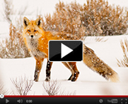 Red-Fox-video-thumb