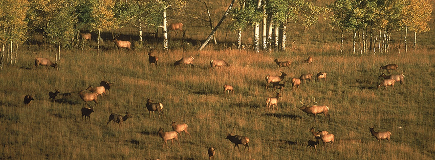 elk herd