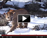 Mtn-Lion-video-thumb