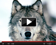 Wolf-video-thumb